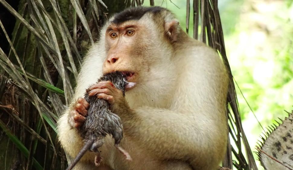Estes macacos comedores de ratos são super efetivos para controle de peste