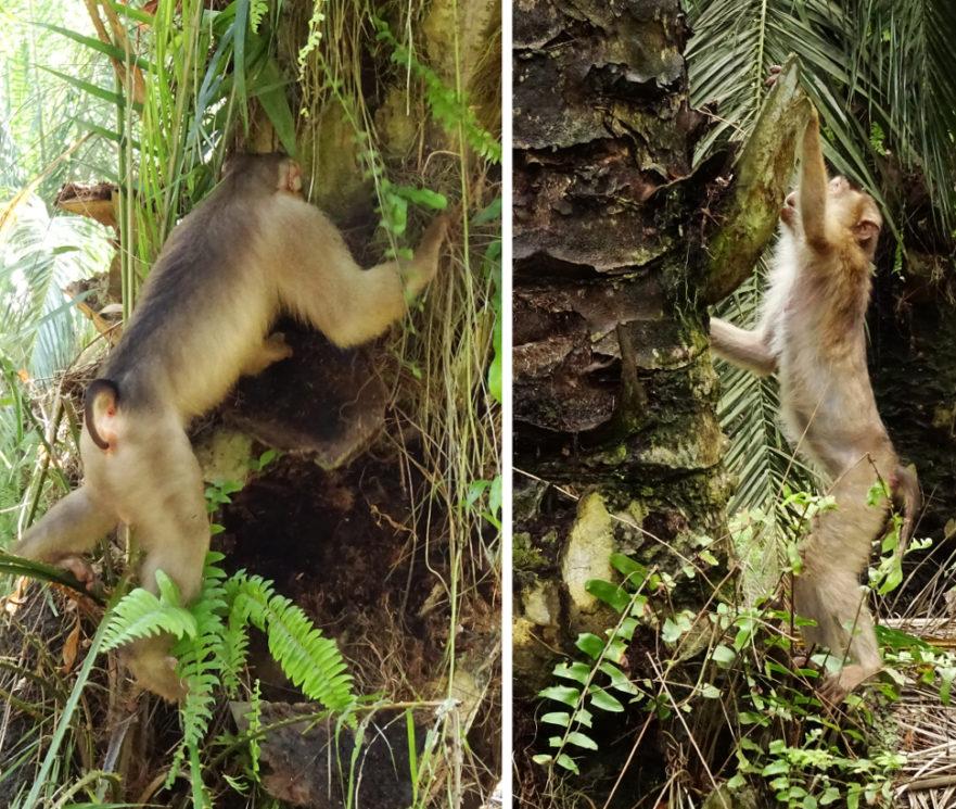 Macacos caçando ratos em plantação