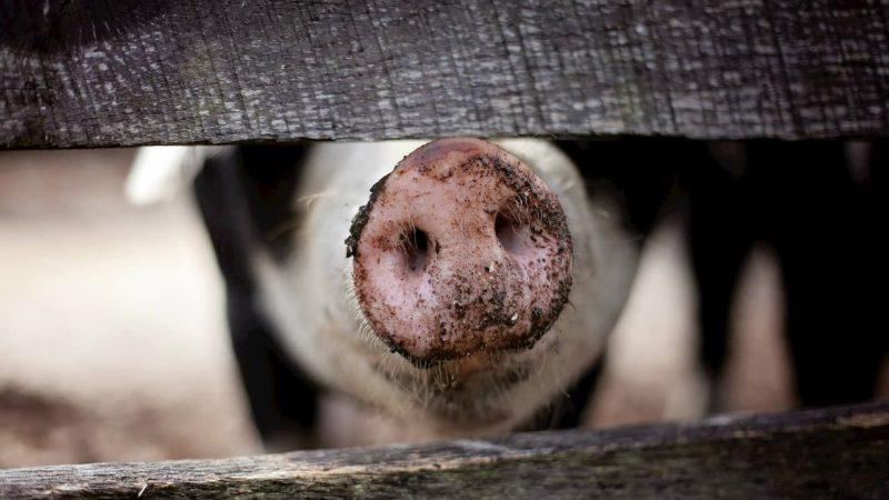 Focinho de um porco