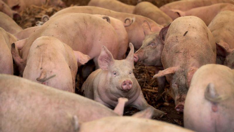 Coreia do Sul vai contar com atiradores e drones para abater porcos norte-coreanos com febre suína