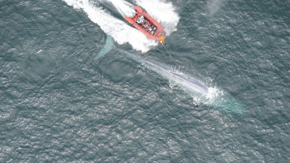 Pesquisadores registraram a frequência cardíaca de uma baleia azul pela primeira vez e resultados surpreendem