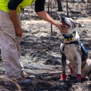 Pessoas e cães unem forças para salvar coalas de incêndios na Austrália