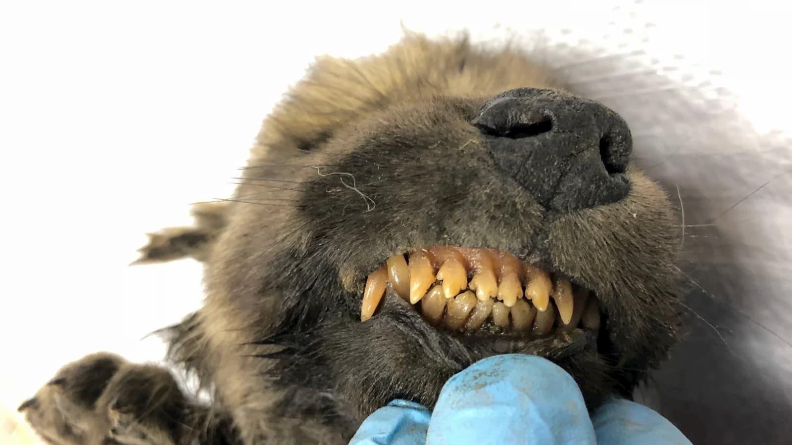 O cachorrinho de 18 mil anos, com dentes intactos