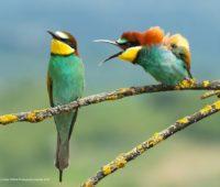 Pássaro, aparentemente, gritando com um outro