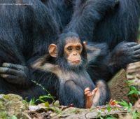 Macaco bebê descansando com as duas mãos na cabeça