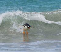 Penguim pegando uma onda