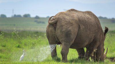 Rinoceronte fazendo xixi em pássaro em imagem do Comedy Wildlife Awards 2019