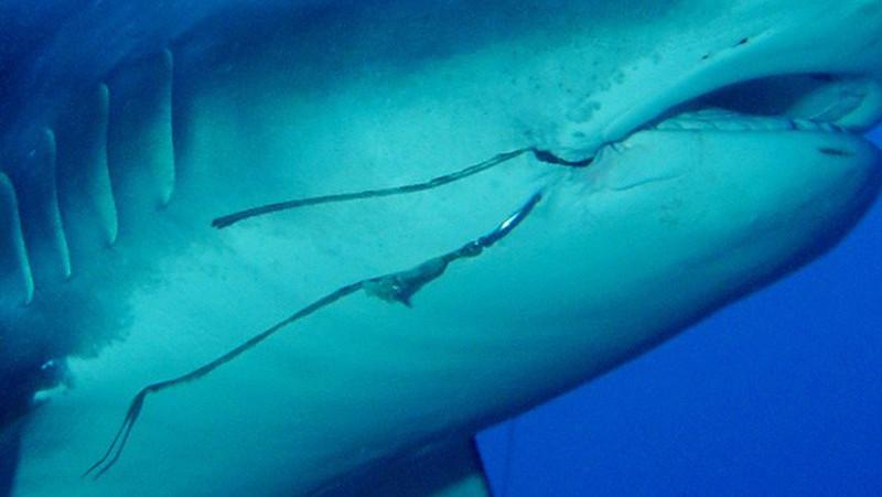 Anzóis ficam presos a um número surpreendentemente alto de tubarões
