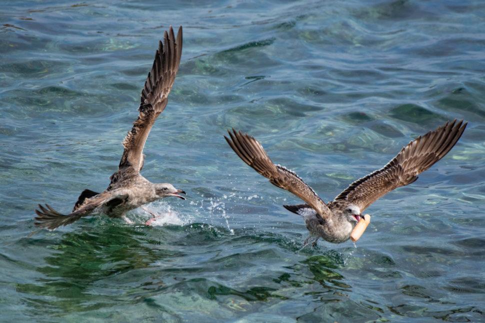 Duas gaivotas brigam pelo pênis de plástico.