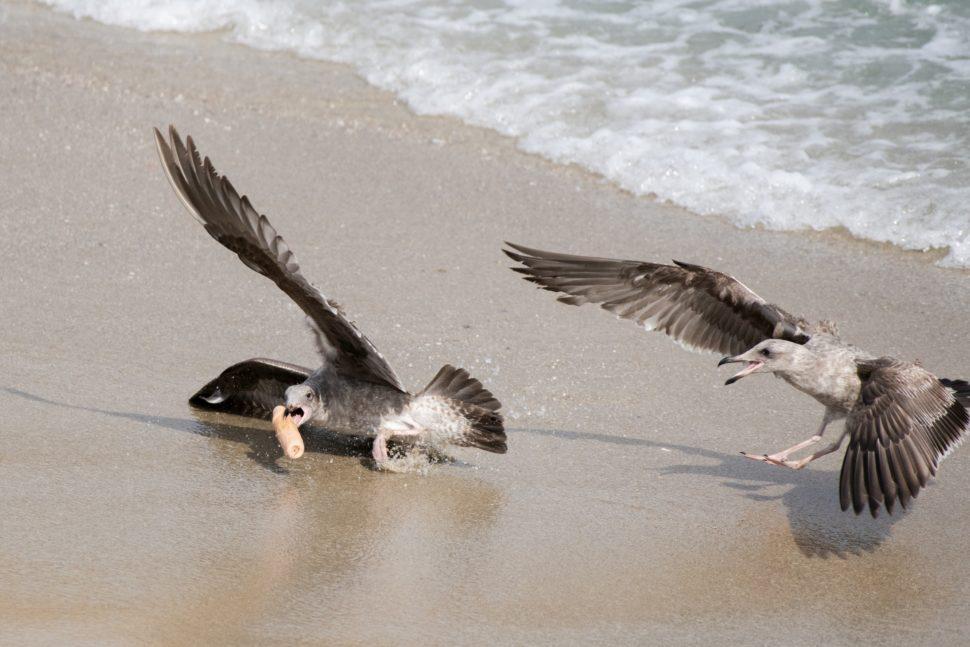 Gaivotas disputando o pênis de plástico. Crédito: Jennifer Leigh Warner/Cater News