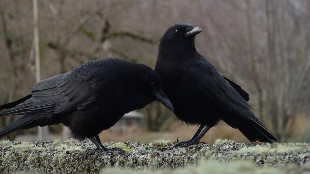 Estes corvos evoluíram para uma nova espécie, cruzaram com as espécies antigas, e voltaram ao início