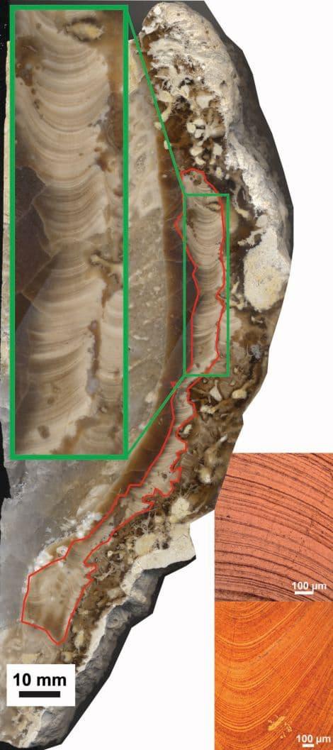 As camadas diárias e sazonais da concha de Torreites sanchezi