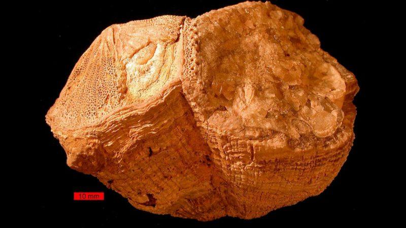 A concha fóssil de Torreites sanchezi, um extinto molusco bivalve