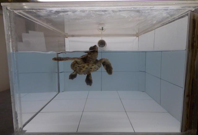 Uma das tartarugas do estudo. Crédito: Joseph Pfaller