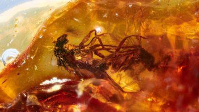 Moscas acasalando encontradas em âmbar de 41 milhões de anos