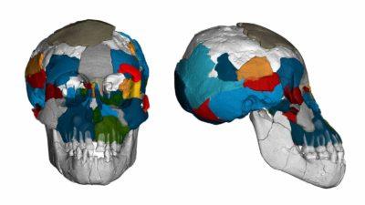 Tomografias do crânio do Australopithecus afarensis