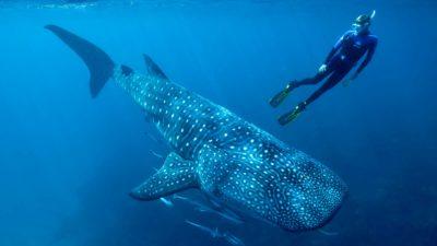 Pessoa nadando ao lado de tubarão-baleia