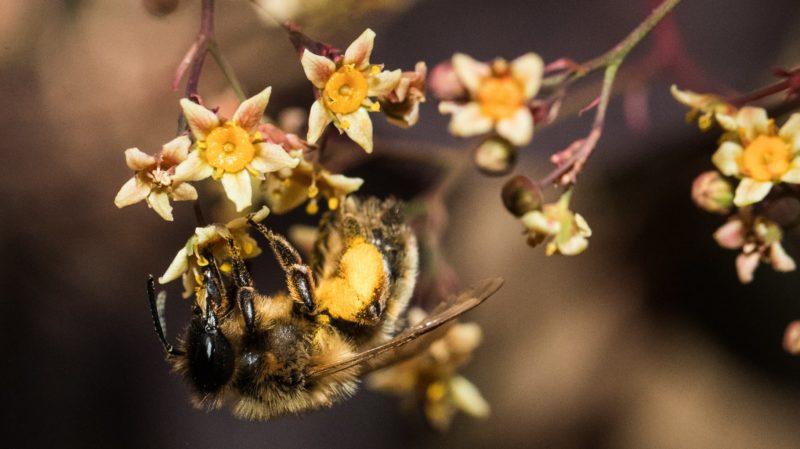 Abelha pendurada de cabeça para baixo em uma flor.