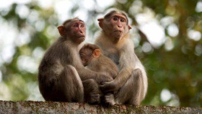Macacos em Kerala, Índia