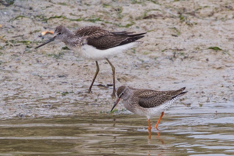 Ave Perna-verde-comum (acima) e um perna-verde-comum (abaixo), duas das oito aves incluídas no estudo. Crédito: Ron Knight