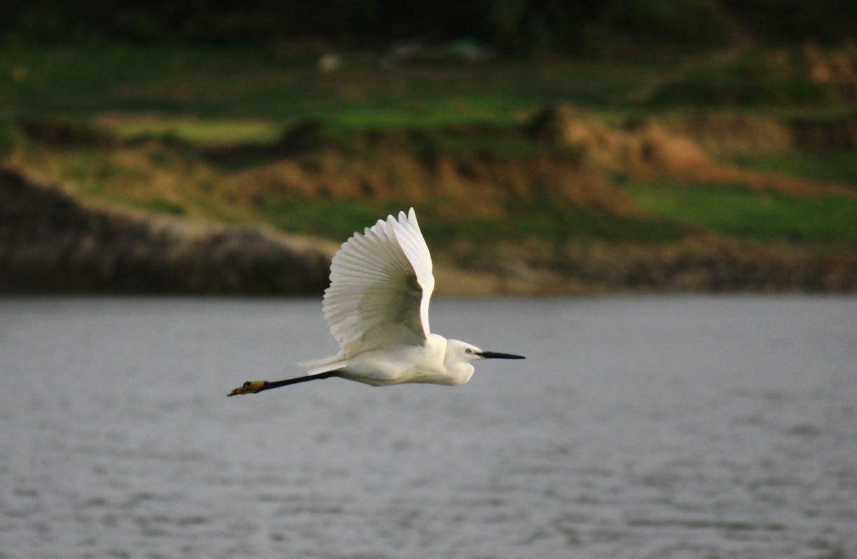 Uma garça-voadora em voo, outra espécie vista nas planícies da maré do novo estudo. Crédito: S.Gopinath Babu