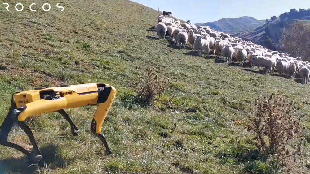 Cachorro robótico da Boston Dynamics ganha um novo emprego: pastorear ovelhas na Nova Zelândia