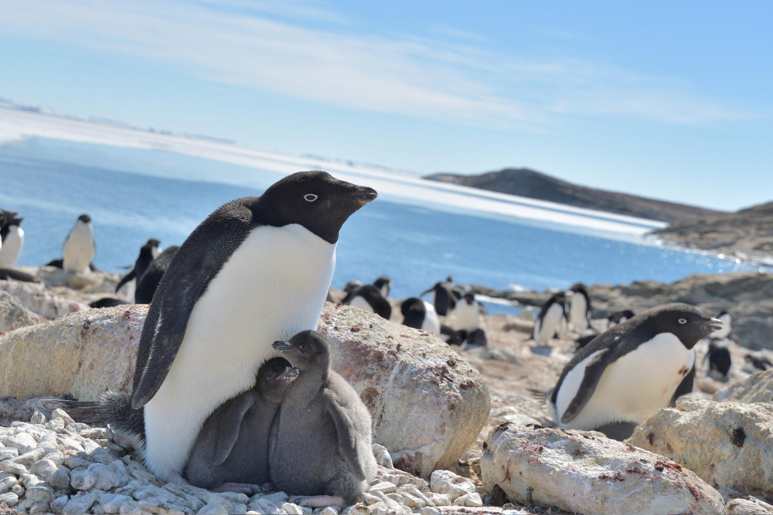 Família de pinguins Adélie. Crédito: Yuuki Watanabe/Instituto Nacional de Pesquisa Polar do Japão