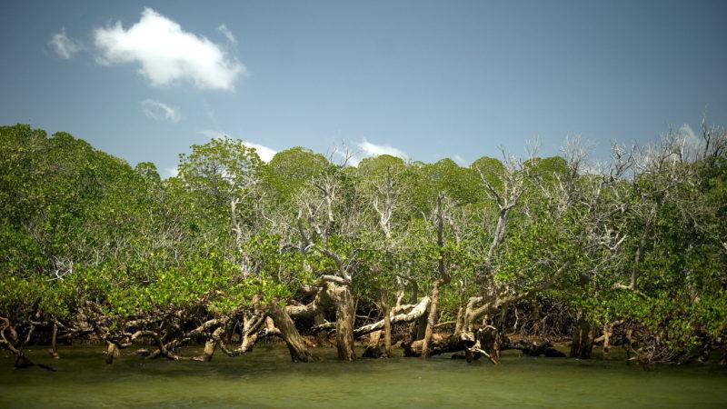 Floresta de mangue. Crédito: Getty Images
