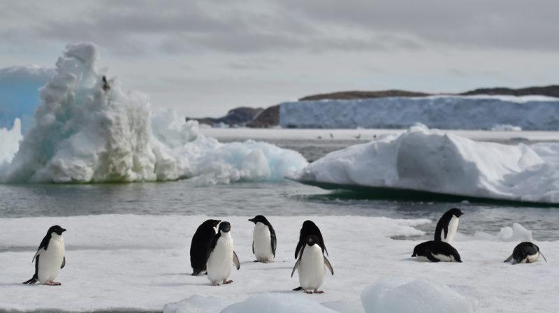 Pinguins Adélie na baía Lützow-Holm, na Antártica. Crédito: Yuuki Watanabe/Instituto Nacional de Pesquisa Polar do Japão