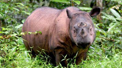 O rinoceronte-de-sumatra está entre os mamíferos mais raros da Terra