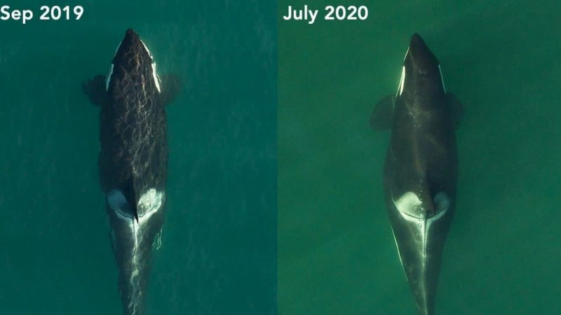 À esquerda uma orca em setembro de 2019. À direita, a mesma orca grávida em julho de 2020