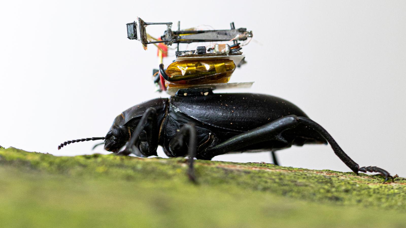 Detalhe da câmera sob o casco do besouro. Crédito: Mark Stone/University of Washington