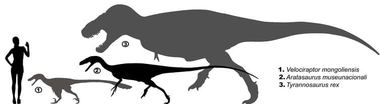 Escala do Aratasaurus museunacionali em comparação com humano, Velociraptor mongoliensis e Tiranossauro rex