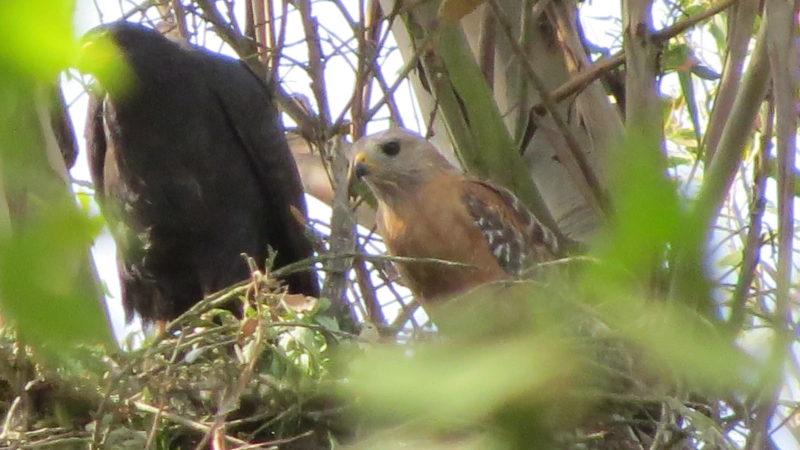 O falcão preto comum fêmea (esquerda) e o falcão de ombros vermelhos macho (direita) em seu ninho Foto: Stan Moore