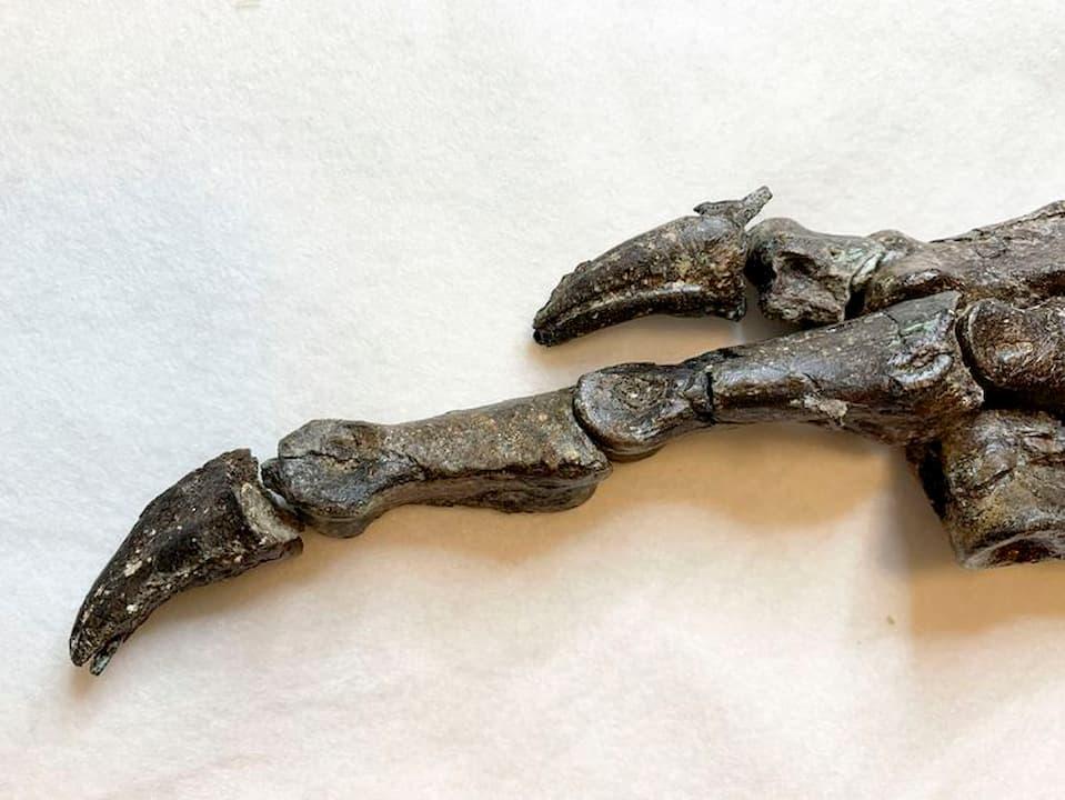 Ossos da pata direita traseira do Aratasaurus museunacionali