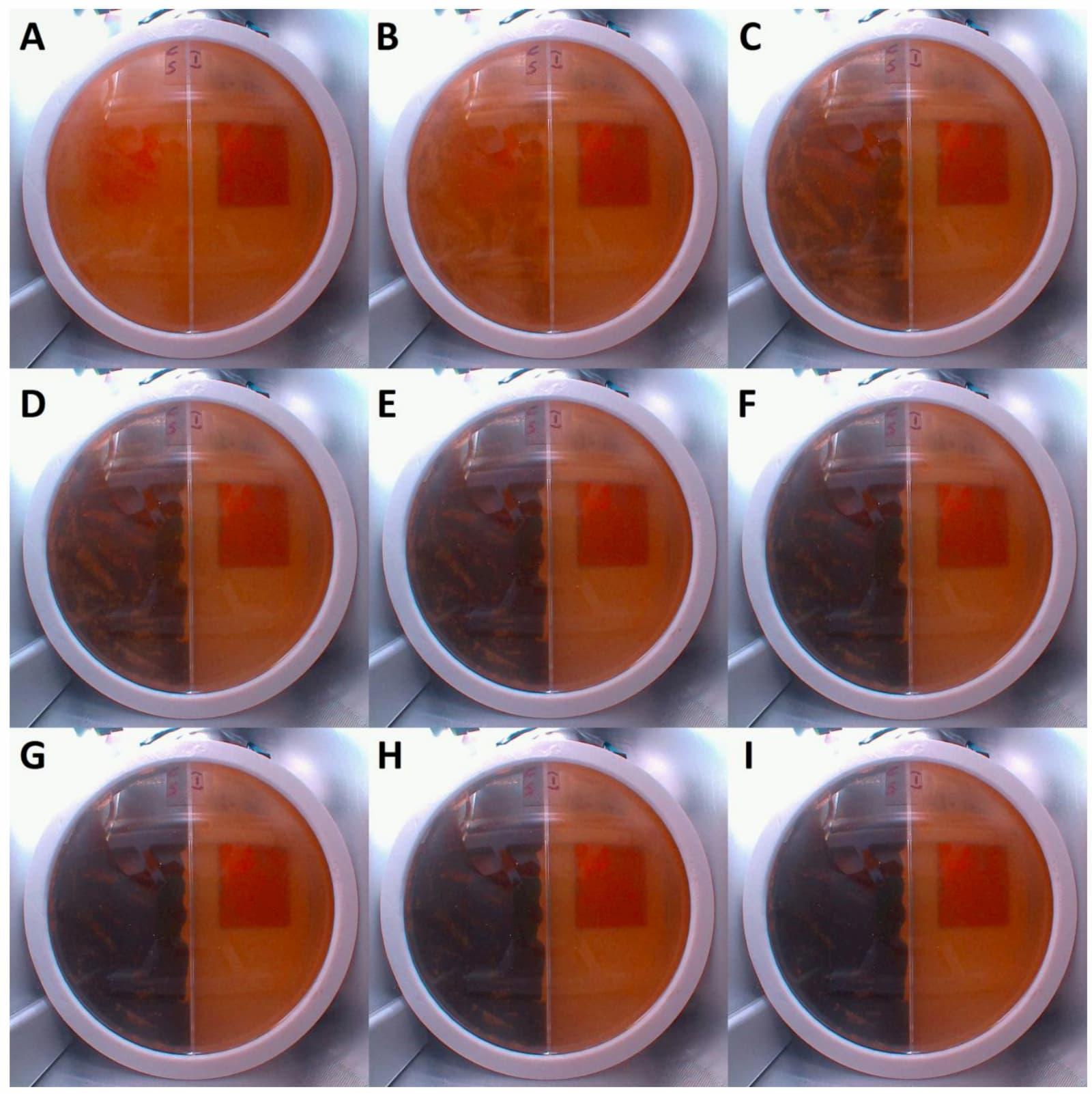 Crescimento fúngico (no lado esquerdo da placa de petri) observado durante as primeiras 48 horas da experiência