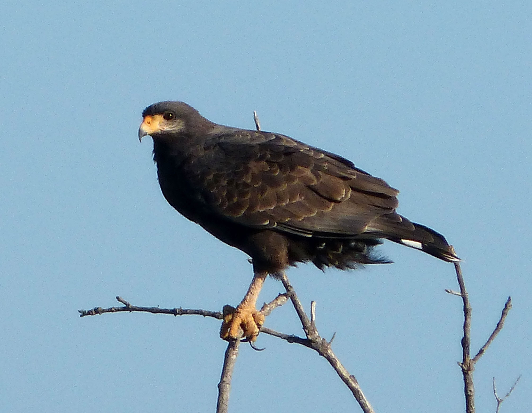Um falcão negro comum Foto: Gail Hampshire