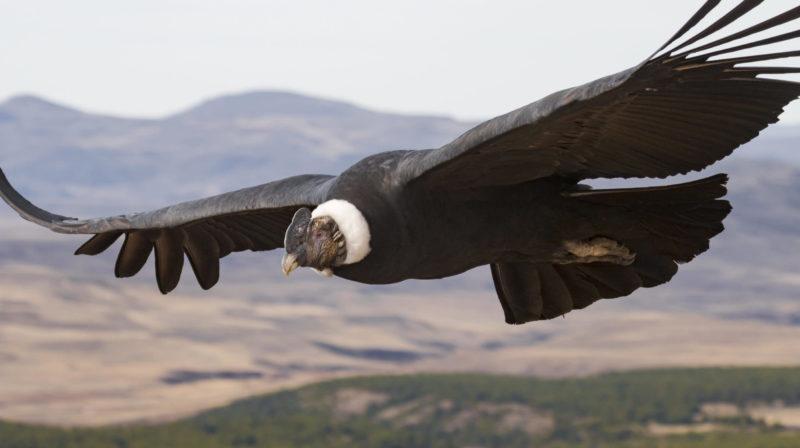Condor andino. Crédito: Facundo Vital