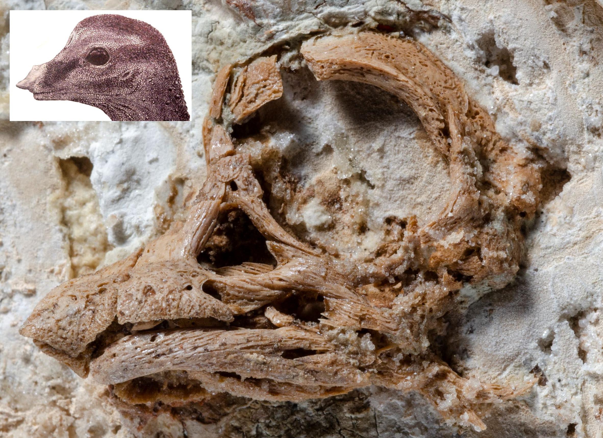 O crânio fossilizado com a reconstrução do artista mostrada ao lado esquerdo superior. Crédito: Kundrat et al. /Current Biology