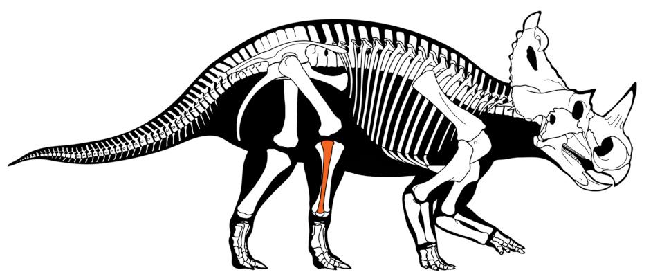 Esqueleto de um Centrosaurus apertus com destaque em vermelho para área do fêmur. Crédito: Danielle Dufault