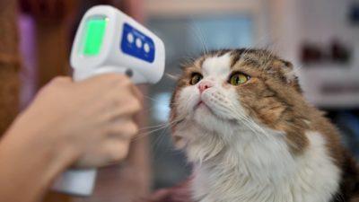 Pessoa mede temperatura de gato em Bangcoc. Crédito: Lillian Suwanrumpha/Getty Images