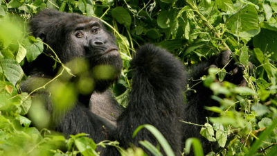 Um gorila adulto na floresta do Paque Nacional Bwindi, em Uganda. Crédito: Stuart Price/Getty Images