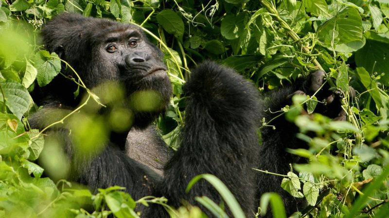 Um gorila adulto na floresta do Paque Nacional Bwindi, em Uganda. Crédito: Stuart Price/Getty Images