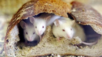 Pesquisadores usam ratos de laboratório para criar célula que derrete gordura. Crédito: YOSHIKAZU TSUNO/AFP (Getty Images)