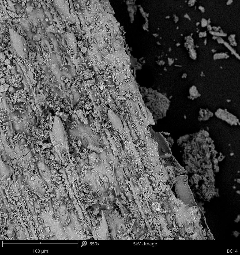 99/5000 Imagem do microscópio eletrônico de varredura de uma amostra de caverna, mostrando espinhos e estômatos. Imagem: L. Wadley