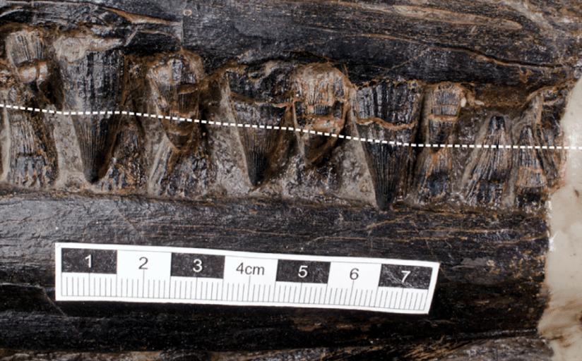 Estes eram os dentes do ictiossauro. Imagem: Da-Yong Jiang/iScience