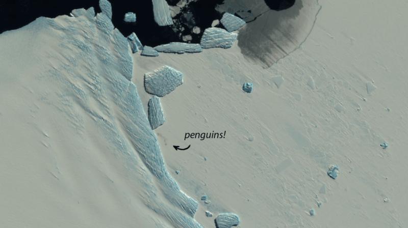 Pinguins imperadores captados pelo satélite Sentinel-2, da ESA, no cabo Pointsett, na Antártica. Crédito: ESA/Sentinel-2