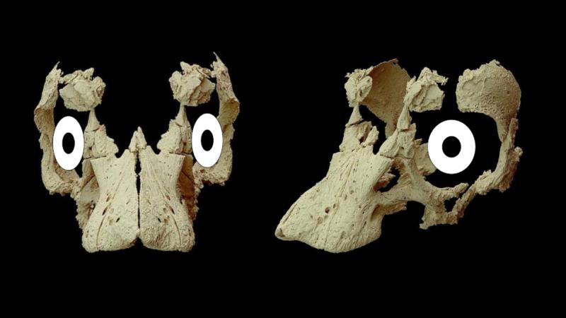 Reconstrução digital do crânio do saurópode, com os olhos adicionando olhando para frente. Crédito: Kundrat et al. /Current Biology
