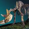Um esqueleto de rinoceronte lanoso. Crédito: Fedor Shidlovskiy