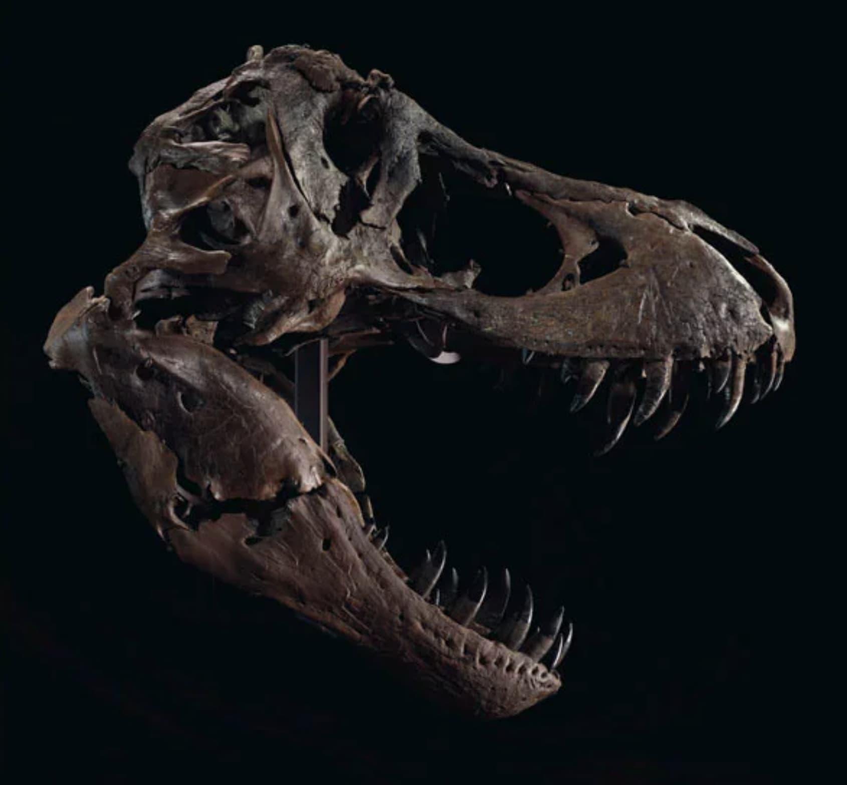 Crânio do Stan é tão pesado que uma réplica é usada quando o fóssil está à mostra, enquanto o crânio original é mantido em um local para observação. Crédito: Christie's